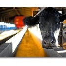 Black Cow Photo Wall Picture 8x12 Color Art Print - Animals - Contemporary