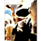 Cow Life Photo Wall Picture 8x12 Color Art Print Farm Dairy Animals New Original