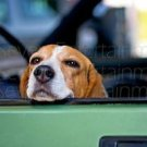 Cute Beagle Dog Posing in Car Photo 8X10 Color Matte Animals New Original