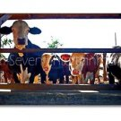 Cow Boys Photo Wall Picture 8x12 Color Art Print - Farm Animals - Contemporary