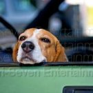 "Cute BEAGLE DOG Posing in Car - PHOTO Color GLOSSY - Animals - ""Call Me."" - USA"
