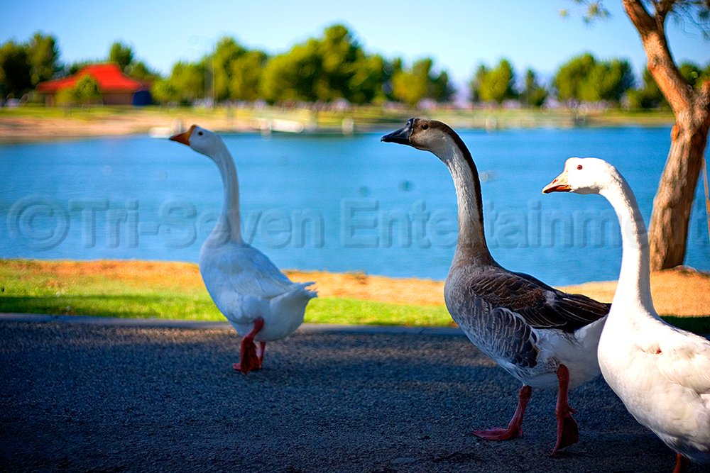 Beautiful Ducks Geese Birds 8x12 Photo Wall Art Print Color Original Picture USA