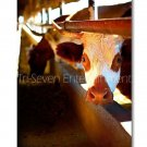 Curious Cow Photo Wall Picture 8x12 Color Art Print Farm Dairy Animals Original