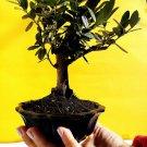 Miniature Bonsai - Olive tree