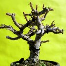 A perfect bonsai -For professionals
