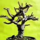 A perfect bonsai -For professionals