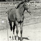 SECRETARIAT AS A FOAL LEGENDARY TRIPLE CROWN WINNER - 8X10 SPORTS PHOTO (AZ130)