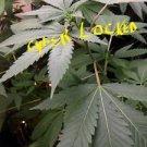 Photo.Growing marajuna. Cannabis Bud plant
