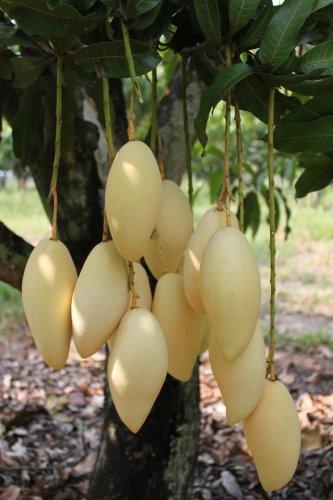 3 Seeds Thai gold mango ,nam doc mai. Fresh Ready Sow Viable Seed