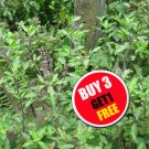(#B 3 G 1 Free) Red Holy Basil Seeds Thai herbs 500 seeds