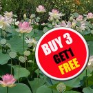 Nelumbo nucifera 20 Seeds, Lotus Seeds, Pink Flower Aquatic Plants Beautiful  (#B 3 G 1 Free)