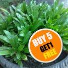 Thai Parsley 1,500 Seeds Culantro, fitweed, Stink weed. (#B 5 G 1 Free)