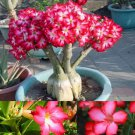 5PCS Charm Rare Flower Pink Adenium Obesum Desert Rose Bonsai Tree Plant Seed