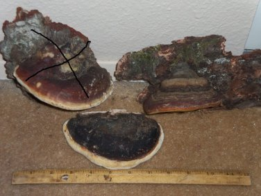 NATURAL TREE CONK Shelf Fungus - Small & Medium