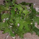 LIVE LUNGWORT LICHEN Moss for display in terrariums - 4 oz. *No to Ca.