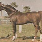 Arabian Horse Postcard *MUSCAT 1970s Champion Stallion
