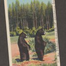 Curious Bear Cubs Postcard Black Bear Yellowstone National Park