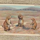 Prairie Dogs Postcard Wildlie Southwest Unused EX