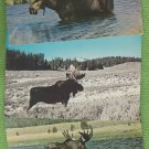 Shiras Moose Postcards Lot of 3 Wyoming Maine Wildlife