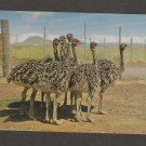 Highgate Ostrich Show Farm Postcard Oudtstoom South Africa
