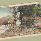 Vintage Deer Postcard Wildlife VG Unposted