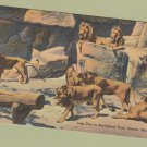 Lion Den Vintage Postcard Zoological Park Detroit Michigan