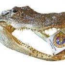 Alligator 8-9 GATOR Head Skull Bayou Swamp New Orleans People Teeth Louisianna