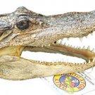 Alligator 7-8 GATOR Head Skull Bayou Swamp New Orleans People Teeth Louisianna