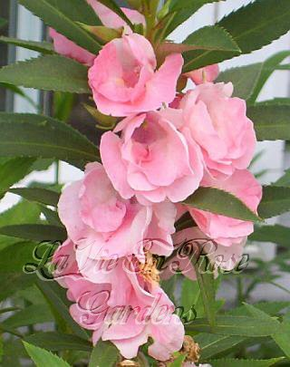 SPECIAL - BEAUTIFUL Annual BALSAM Princess Sarah SEEDS