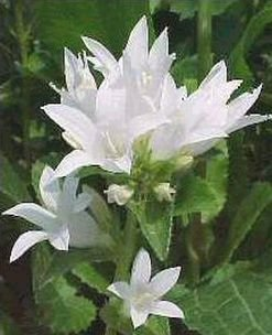 CLUSTERED BELLFLOWER 'Alba' SEEDS Perennial