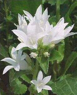 CLUSTERED BELLFLOWER 'Alba' SEEDS Perennial