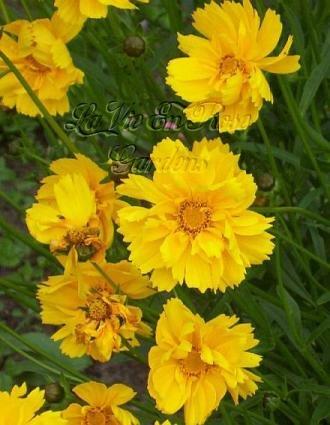 1679 - Coreopsis 'Sunburst' PERENNIAL seeds