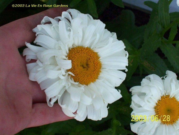 0043 - CRAZY DAISY Multi-petalled Blooms Seeds PERENNIAL