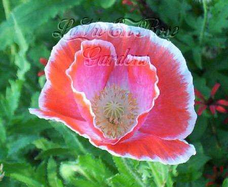 DELICATE Papaver ENGLISH ELEGANCE Poppy ANNUAL Seeds