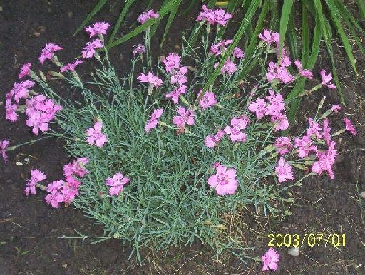 0049 - Perennial DIANTHUS 'Cheddar Pinks' SEEDS