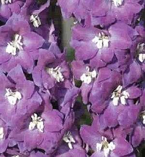 0214 - SEEDS Dwarf Delphinium 'Catherine' Series Lavender PERENNIAL