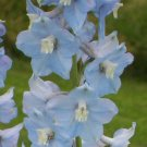 PERENNIAL Dwarf Delphinium'Catherine' Series SEEDS Light Blue