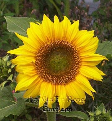 DWARF Sunflower PACINO COLA Excellent for Border