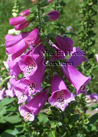Elegant DWARF Foxglove Mixed colors Perennial SEEDS