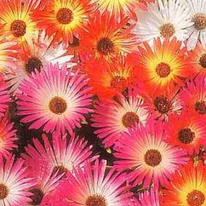 EXCELLENT ROCKERIES Annual ICE PLANT Seeds