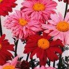 0211 - PERENNIAL Painted Daisy PYRETHRUM Seeds