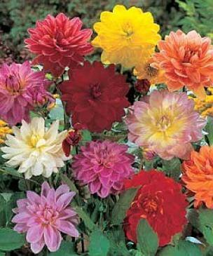 EXCITING Dwarf Dahlia 'Redskin' Mixed Colors Seeds