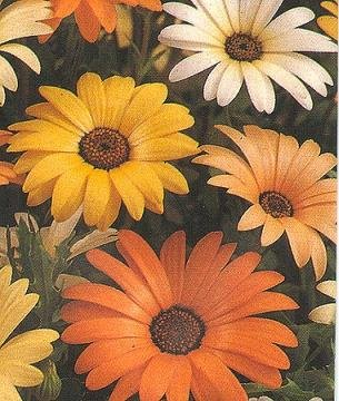EYE-CATCHING African Daisy Seeds MIXTURE