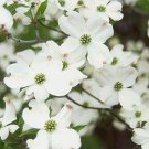 FLOWERING DOGWOOD Astounding Tree SEEDS