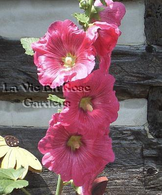 Historic HOLLYHOCK 'Margaret' Beautiful Biennial SEEDS