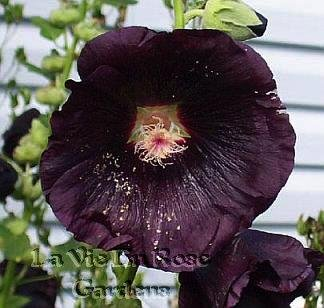 HOLLYHOCK MIDNIGHT Beautiful Heirloom Biennial Seeds