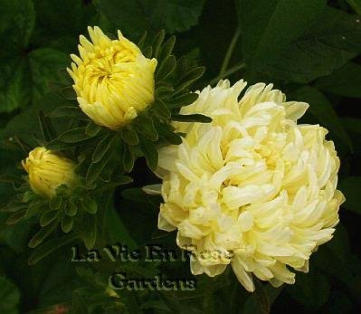 LEMON SHERBERT Annual Aster OUTSTANDING Seeds