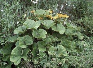 LIGULARIA Othello ... STUNNING for shade PERENNIAL seeds