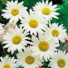 LITTLE MISS MUFFET DAISY Perennial RARE seed