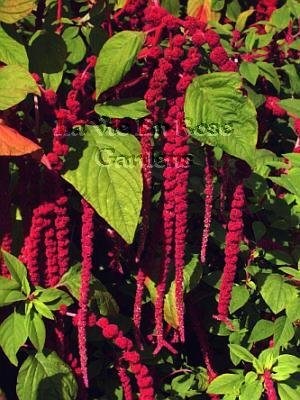 MAGNIFICENT PENDANT BLOOMS Love Lies Bleeding Seeds ANNUAL